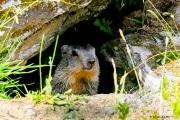 Marmotte_1
