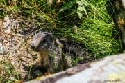 Marmotte_2