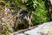 Marmotte_3