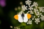 Papillon_140529