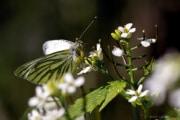 Papillon_150506