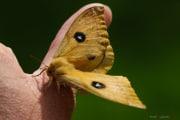 Papillon_Hachette_150511-3
