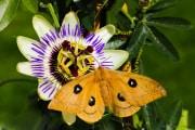 Papillon_Hachette_150511-4