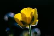 Fleur_jaune_150506