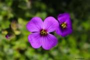 Fleurs_des_bois-11