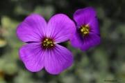 Fleurs_des_bois-12