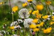 Fleurs_des_champs_150510