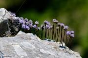 Les _fleurs_du_Creux_du_Van-11