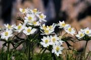 Les _fleurs_du_Creux_du_Van-13