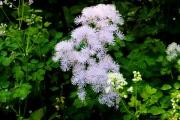 Les _fleurs_du_Creux_du_Van-2