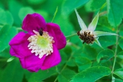 Les _fleurs_du_Creux_du_Van-3