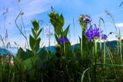 Les _fleurs_du_Creux_du_Van-5