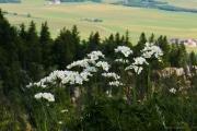 Les _fleurs_du_Creux_du_Van-8