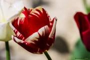 Tulipe-24