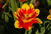 les_fleurs_printanieres_de_notre_jardin-1