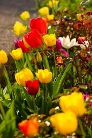 les_fleurs_printanieres_de_notre_jardin-12