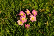 les_fleurs_printanieres_de_notre_jardin-14