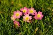 les_fleurs_printanieres_de_notre_jardin-15