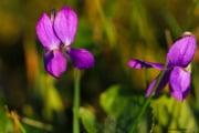 les_fleurs_printanieres_de_notre_jardin-17