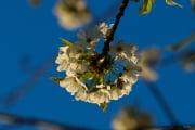 les_fleurs_printanieres_de_notre_jardin-18