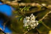 les_fleurs_printanieres_de_notre_jardin-19