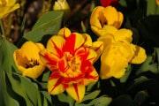 les_fleurs_printanieres_de_notre_jardin-2