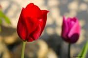 les_fleurs_printanieres_de_notre_jardin-4