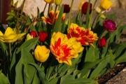 les_fleurs_printanieres_de_notre_jardin-6