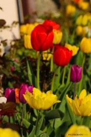 les_fleurs_printanieres_de_notre_jardin-7
