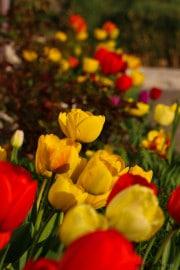 les_fleurs_printanieres_de_notre_jardin-8