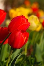 les_fleurs_printanieres_de_notre_jardin-9